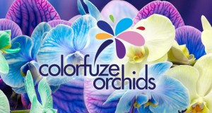 Our Colorfuze Orchids